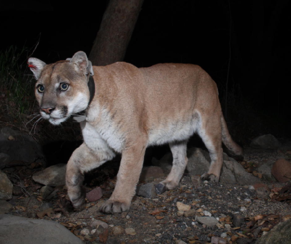 The Story of P-22: The Famed L.A. Mountain Lion That Could